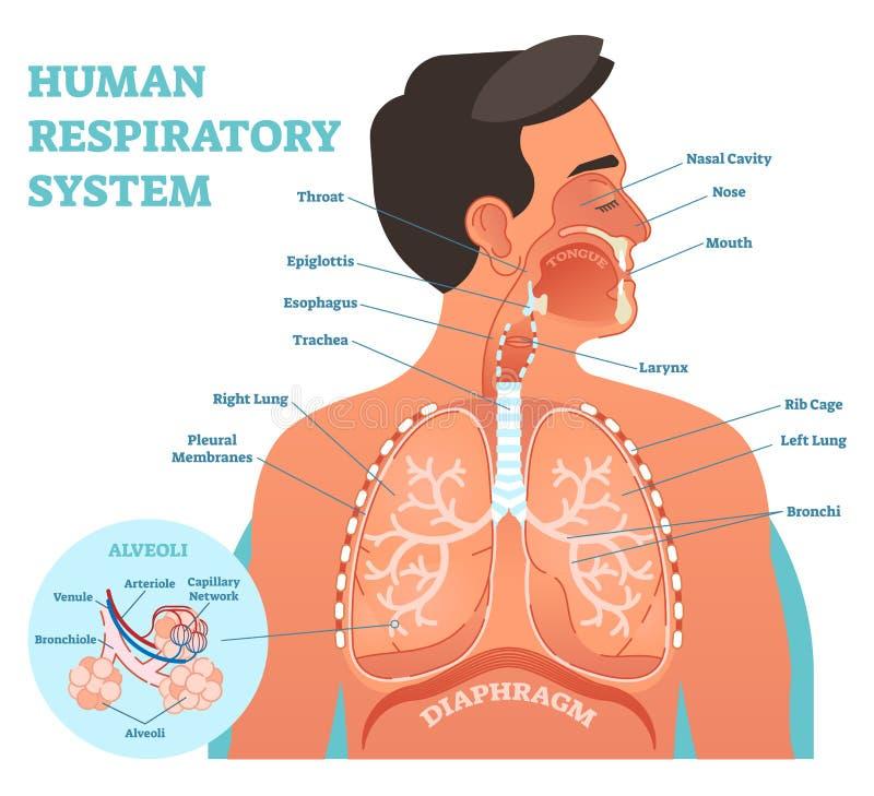 Mänsklig anatomisk vektorillustration för respiratoriskt system, medicinskt utbildningstvärsnittdiagram med lungor och alveoler royaltyfri illustrationer