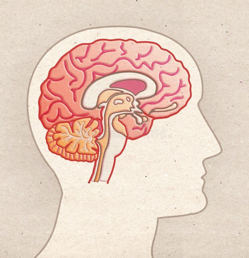 Mänsklig anatomiteckning - profilhuvud med det BRAIN Sagittal avsnittet royaltyfri illustrationer