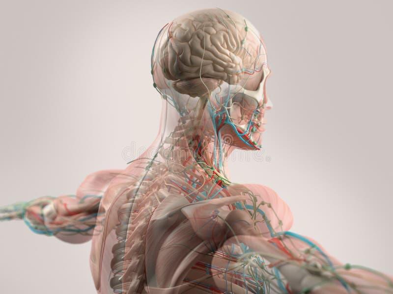 Mänsklig anatomivisningframsida, huvud, skuldror och baksida vektor illustrationer