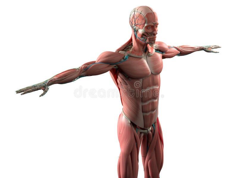 Mänsklig anatomivisningframsida, huvud, skuldror och muskulöst system för torso royaltyfri illustrationer