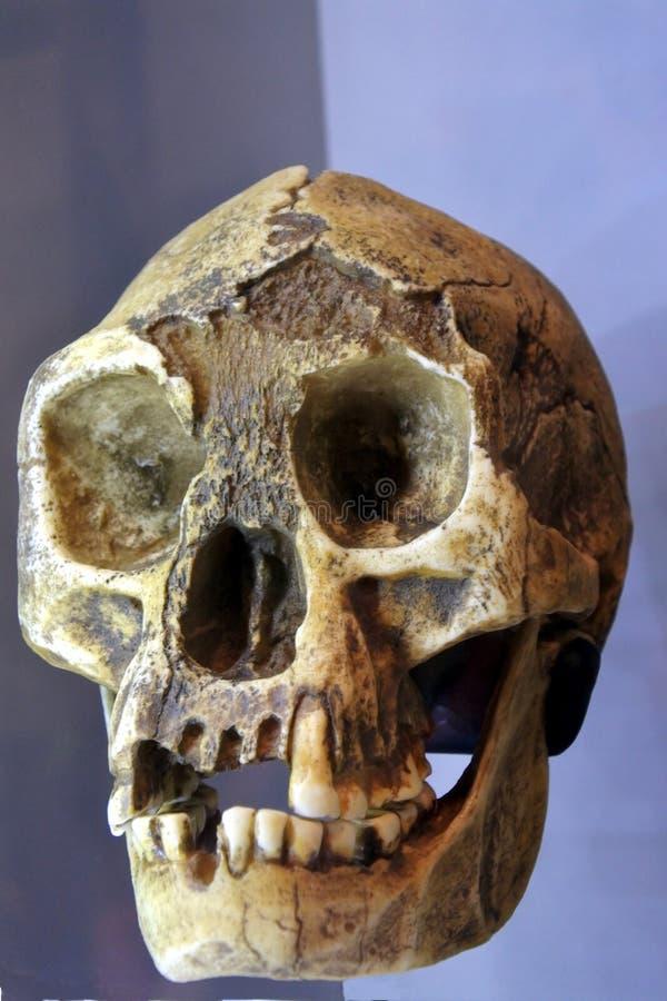 Mänsklig ansikts- skelett- främre sikt arkivbild