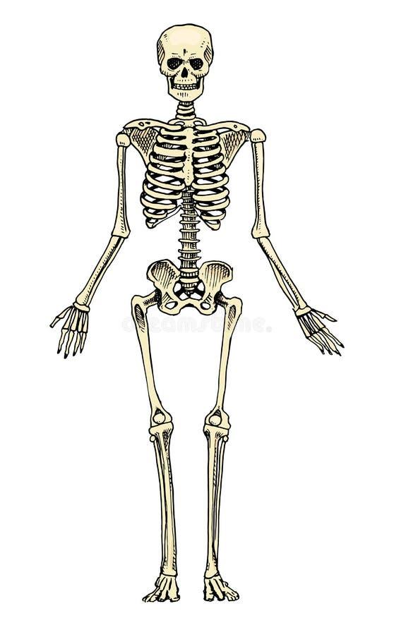 Mänsklig biologi, anatomiillustration den inristade handen som dras i gammalt, skissar och tappningstil skelett- kontur Ben av royaltyfri illustrationer