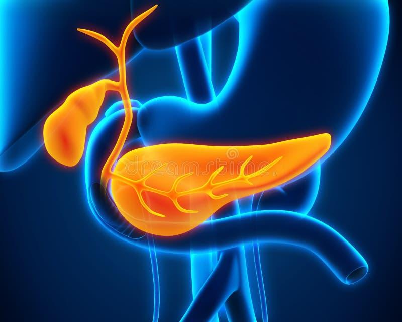 Mänsklig gallbladder- och bukspottkörtelanatomi royaltyfri illustrationer