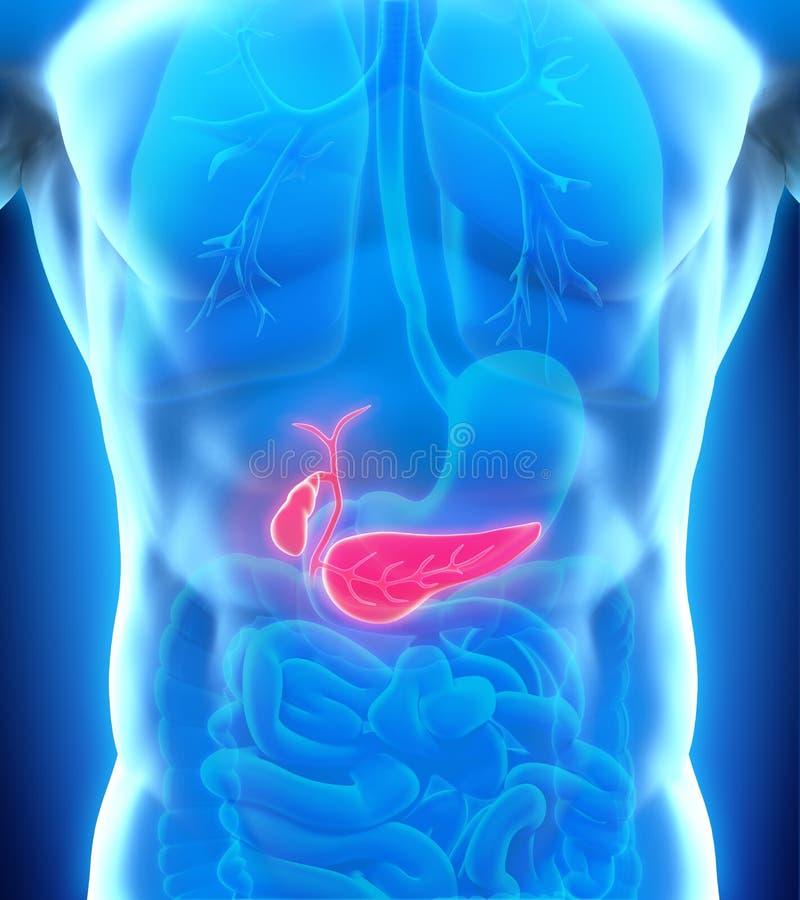 Mänsklig gallbladder- och bukspottkörtelanatomi vektor illustrationer