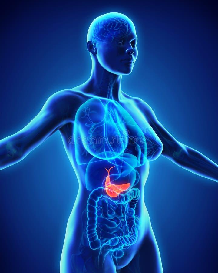Mänsklig gallbladder- och bukspottkörtelanatomi stock illustrationer