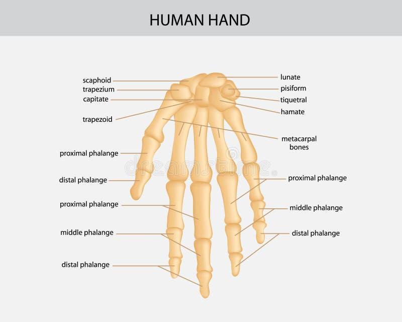 Mänsklig hand royaltyfri illustrationer