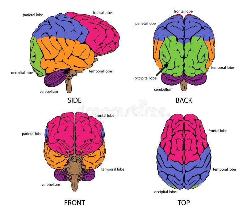 Mänsklig hjärna från alla sidor vektor illustrationer