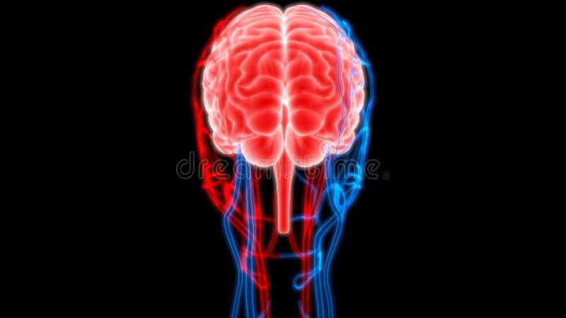Mänsklig hjärna med nerver, åder och artäranatomi royaltyfri illustrationer