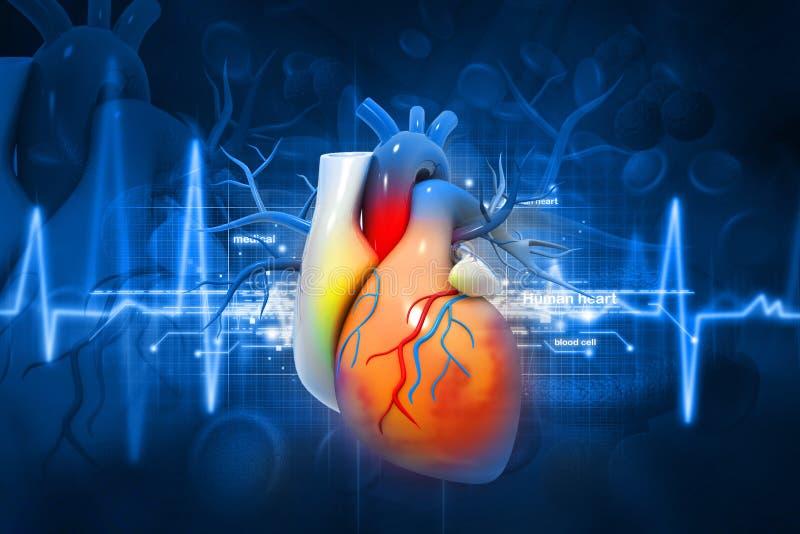 Mänsklig hjärta vektor illustrationer