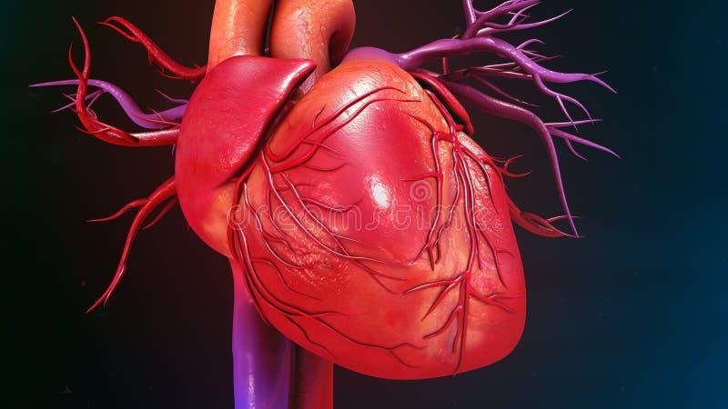 Mänsklig hjärta fotografering för bildbyråer