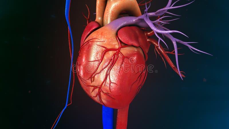 Mänsklig hjärta arkivfoto