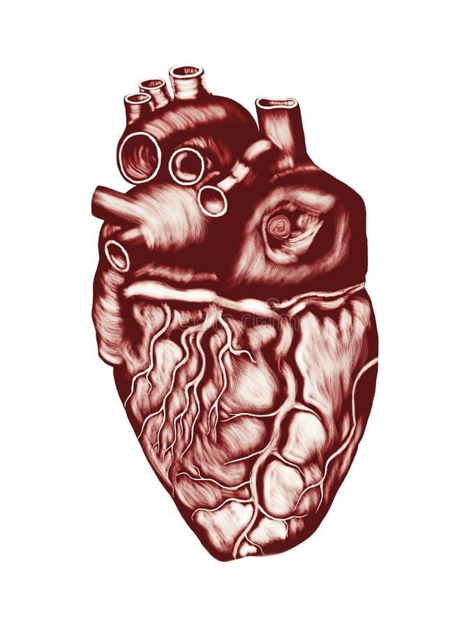 Mänsklig hjärta som isoleras över vit vektor illustrationer