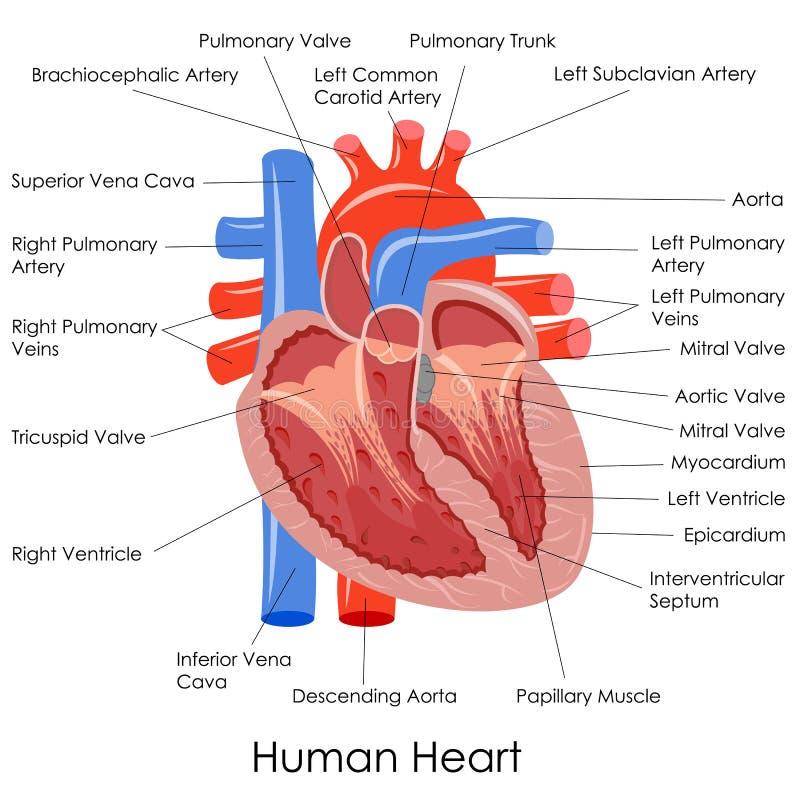 Mänsklig hjärtaanatomi royaltyfri illustrationer