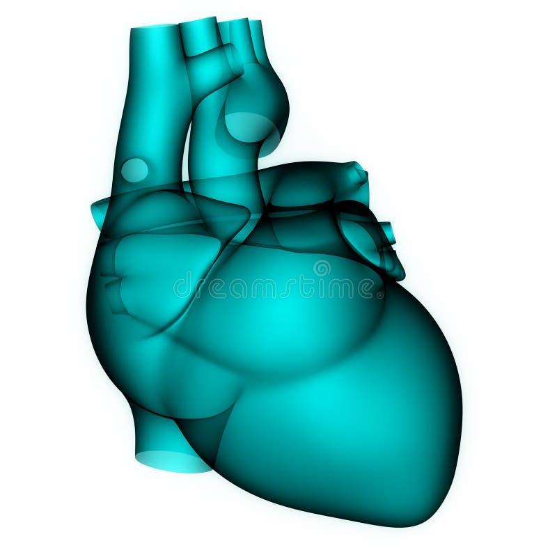 Mänsklig hjärtaanatomi i röntgenstrålebildläsning royaltyfri illustrationer