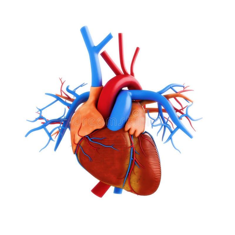 Mänsklig hjärtaanatomiillustration royaltyfri illustrationer