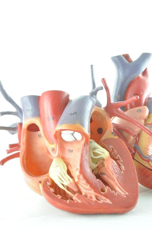 Mänsklig hjärtamodell royaltyfri fotografi