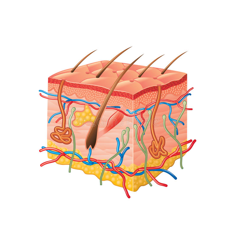Mänsklig hudanatomi som isoleras på den vita vektorn vektor illustrationer