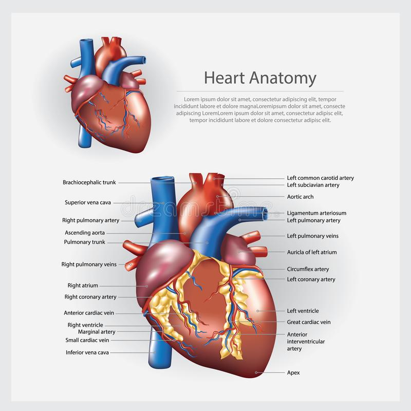 Mänsklig illustration för hjärtaanatomivektor vektor illustrationer