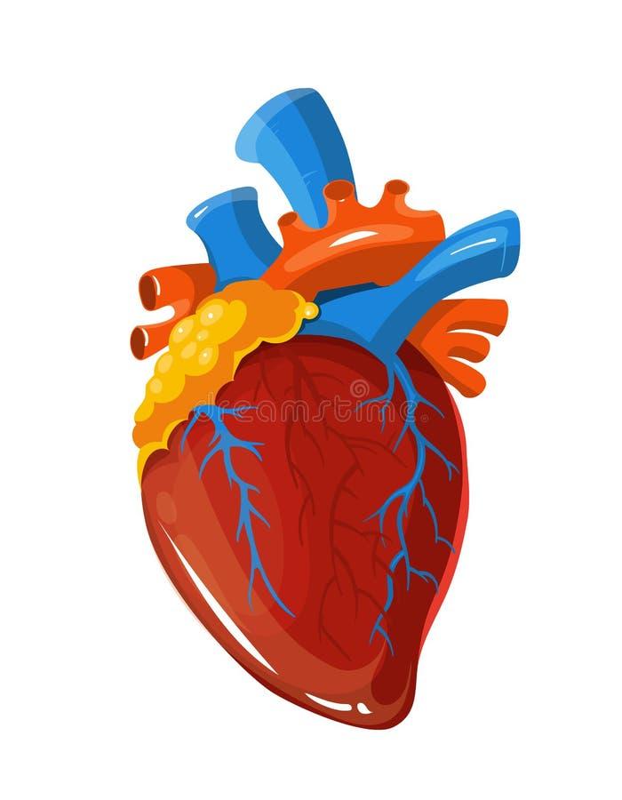 Mänsklig illustration för läkarundersökning för hjärtaanatomivektor stock illustrationer