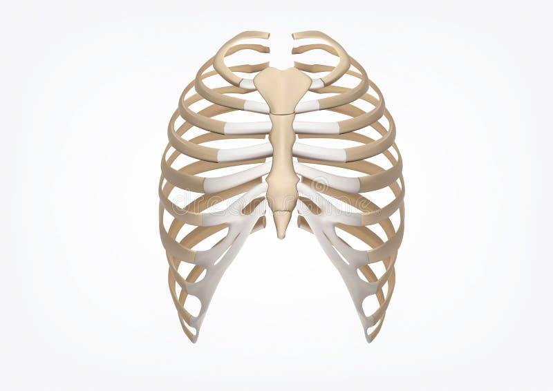 Mänsklig illustration för stöd 3D av den mänskliga skelett- Rib Cage Anatomy Front sikten vektor illustrationer