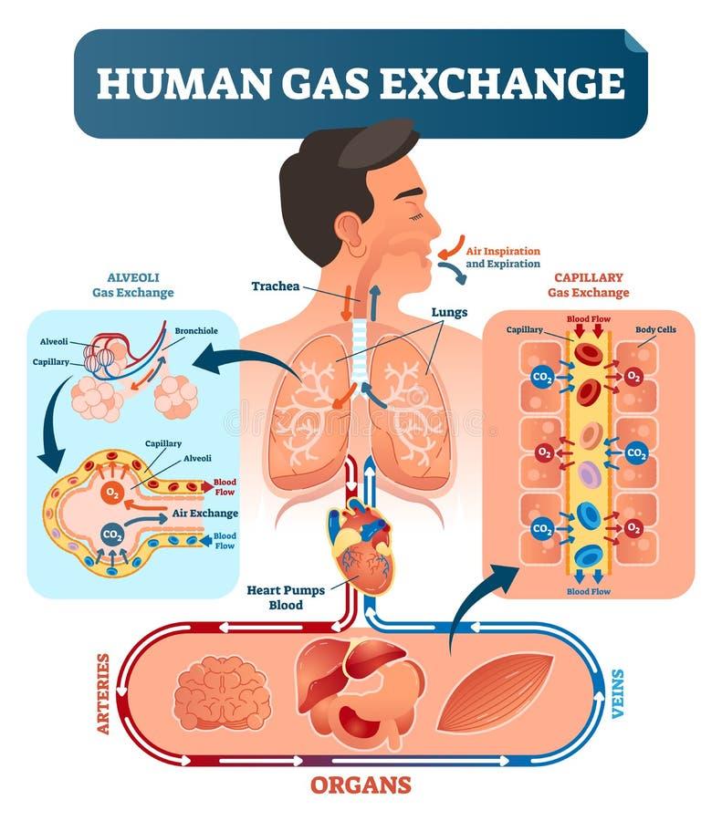 Mänsklig illustration för vektor för gasutbytessystem Syrelopp från lungor till hjärta, till alla kroppceller och tillbaka till l royaltyfri illustrationer