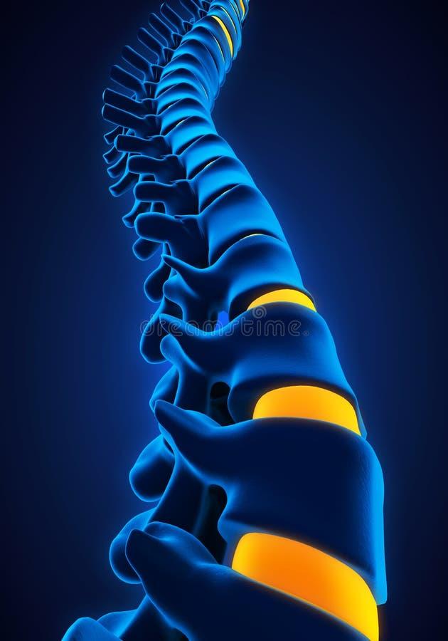Mänsklig inbindningsanatomi stock illustrationer