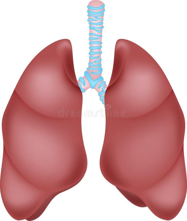 Mänsklig lungaanatomi vektor illustrationer