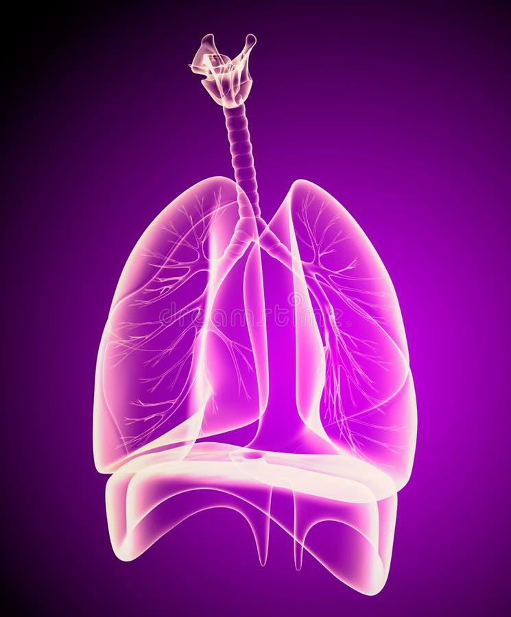Mänsklig lungor och luftrör vektor illustrationer