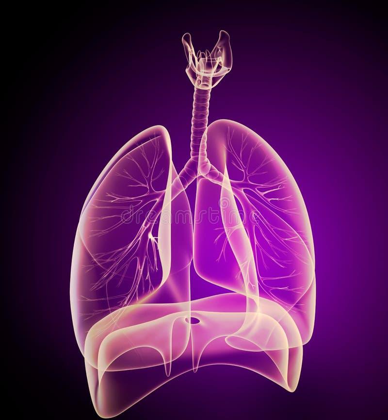 Mänsklig lungor och luftrör i röntgenstrålesikt stock illustrationer