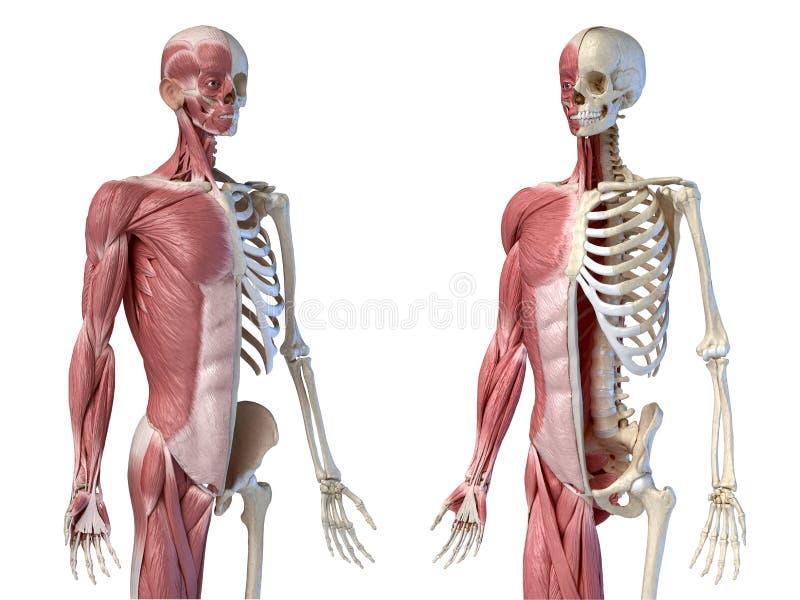 Mänsklig manlig anatomi, 3/4 figurer i muskel- och skelettsystem, två frontalperspektiv stock illustrationer