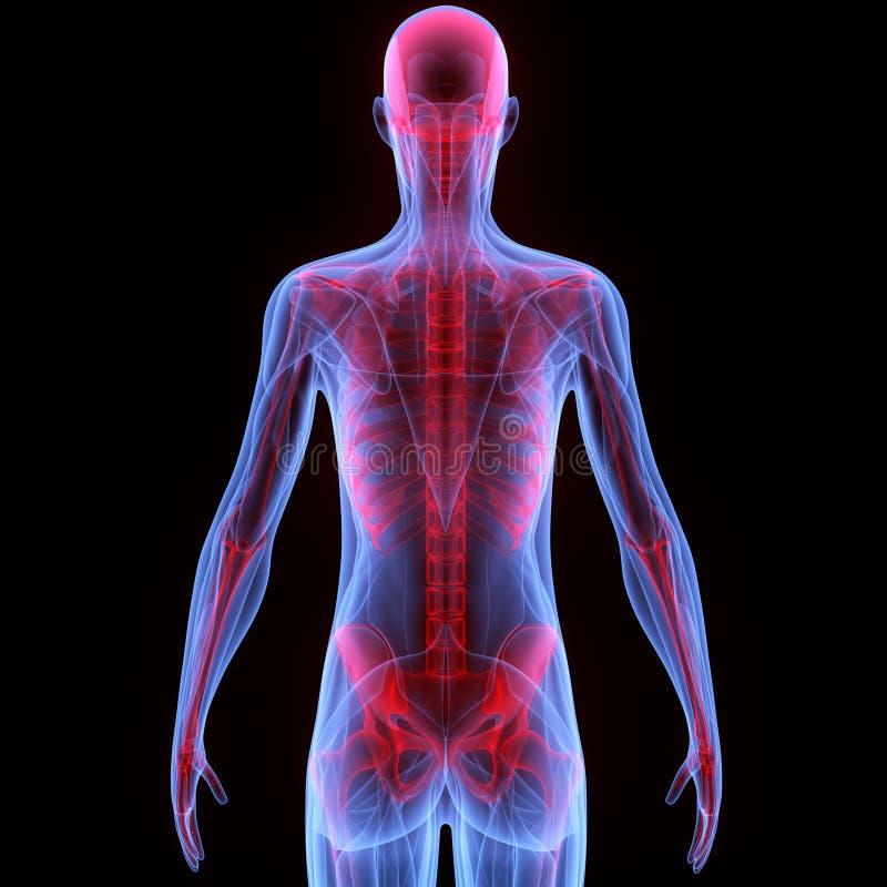 Mänsklig muskelkropp med skelettet stock illustrationer