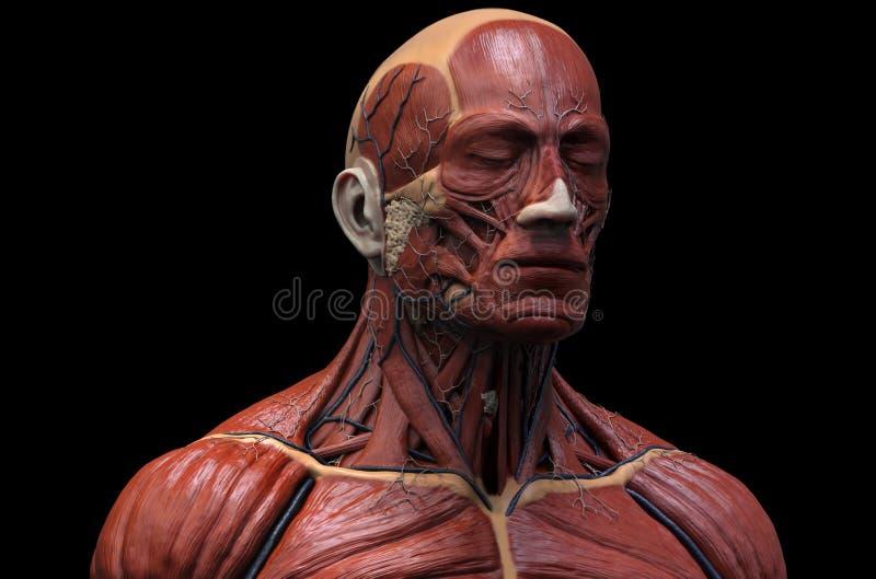 Mänsklig muskulös struktur royaltyfri illustrationer