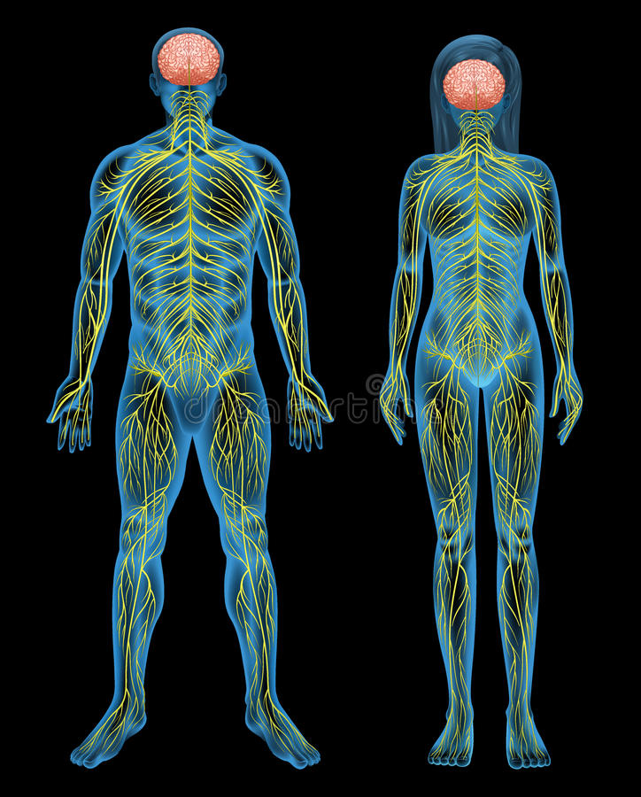 mänsklig nervsystem stock illustrationer