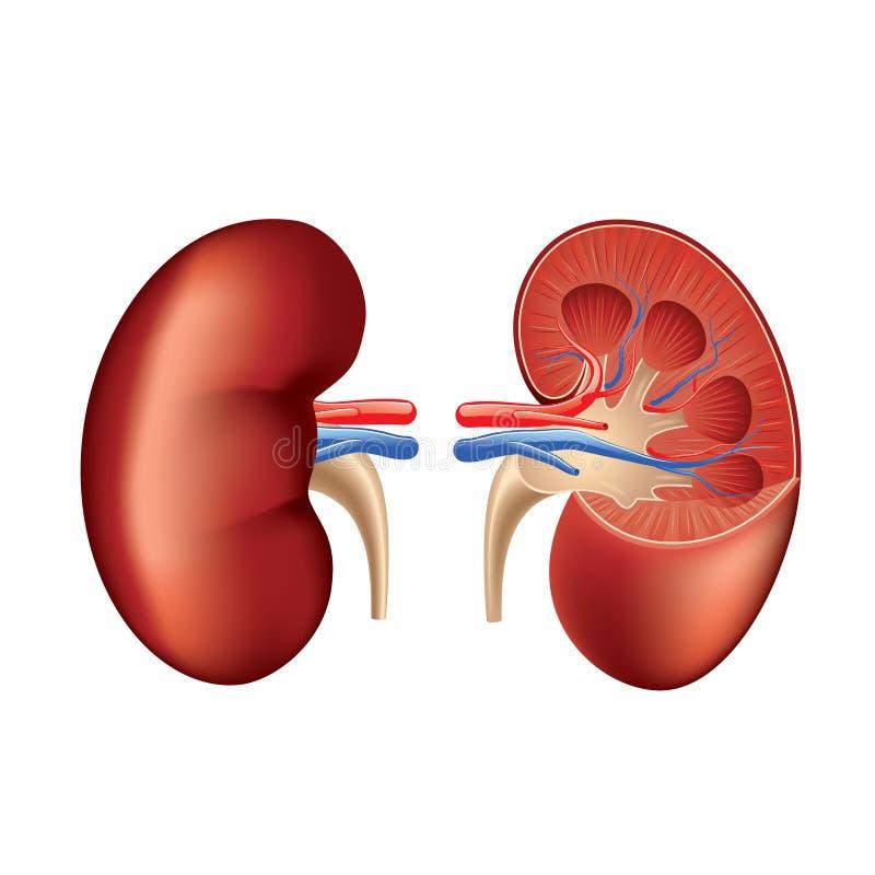 Mänsklig njureanatomi som isoleras på den vita vektorn royaltyfri illustrationer