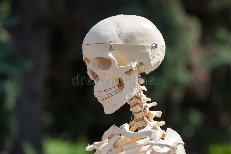 mänsklig plastic skalle arkivfoton