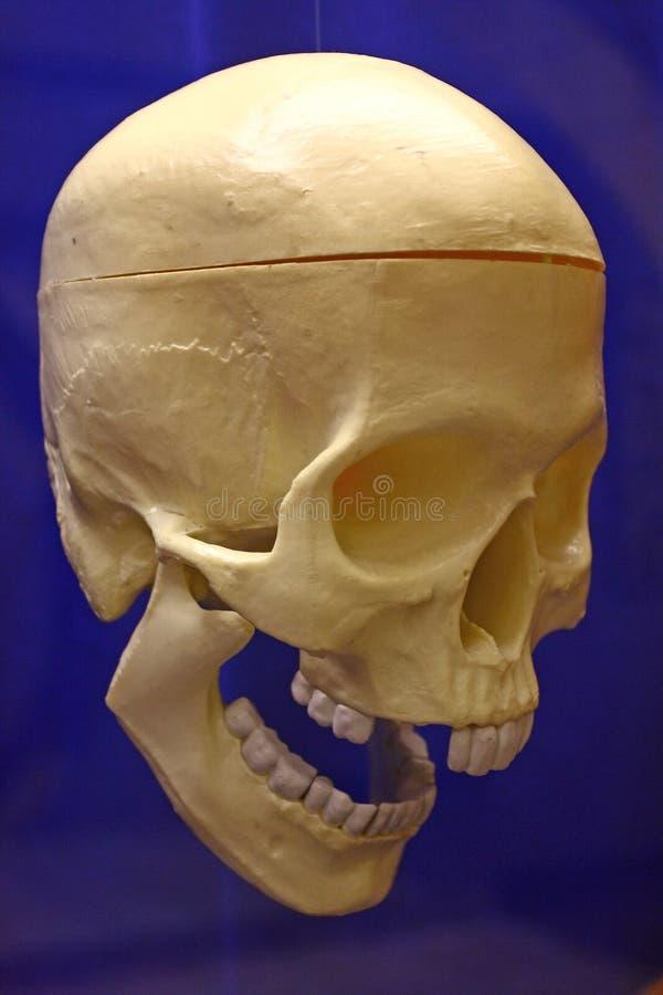 mänsklig plastic skalle royaltyfri foto