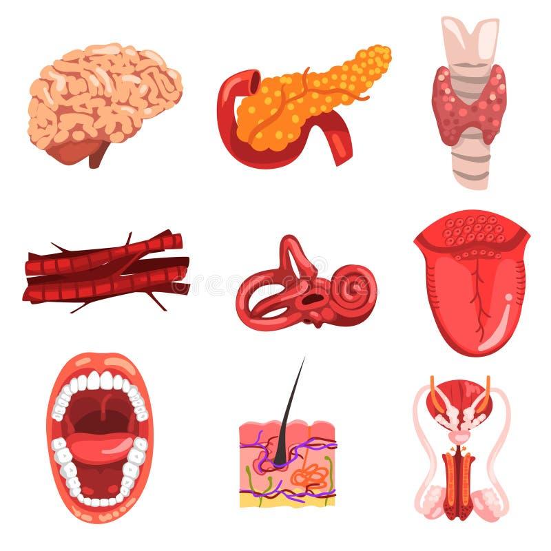 Mänsklig sett för inre organ, hjärna, sköldkörtel, öra, vessetls, tunga, hud, mun, kvinnlig vektor för reproduktivt system vektor illustrationer