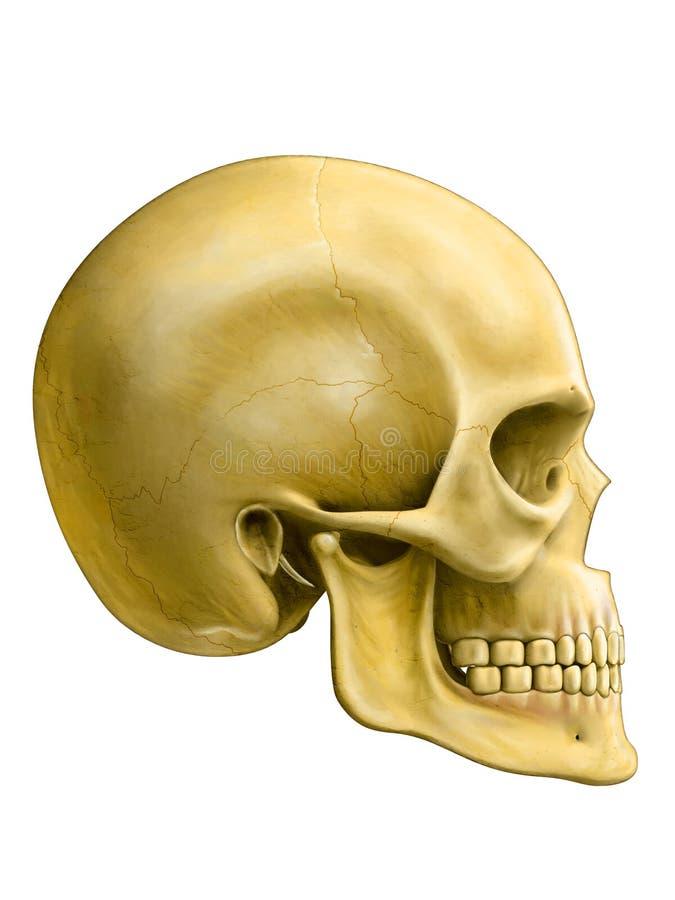 mänsklig skalle stock illustrationer