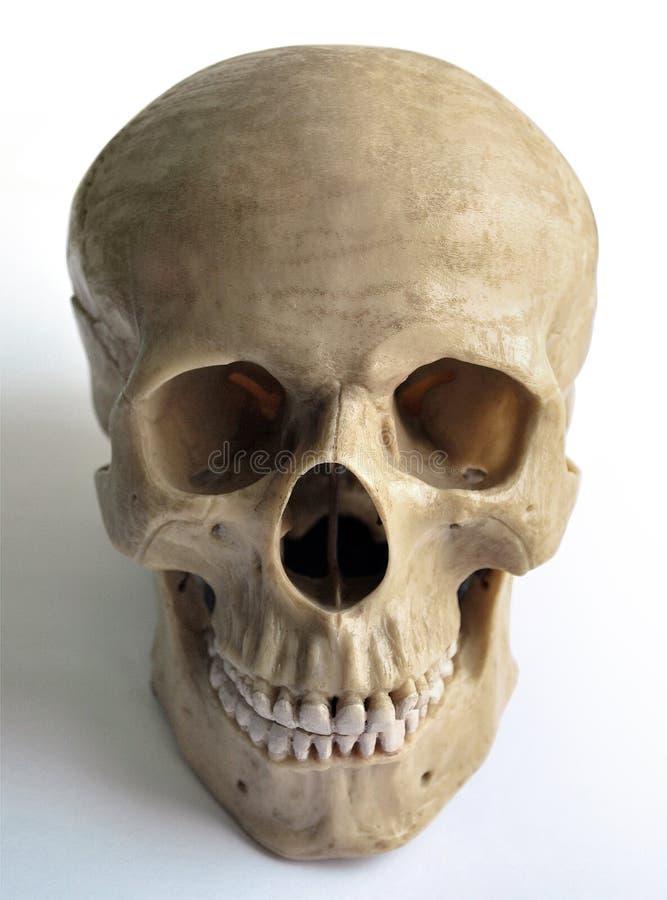 mänsklig skalle arkivbilder