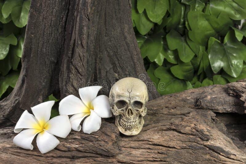 Mänsklig skalle för stilleben med Plumeriablomman royaltyfria foton