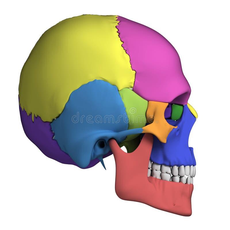 Mänsklig skalleanatomi royaltyfri illustrationer