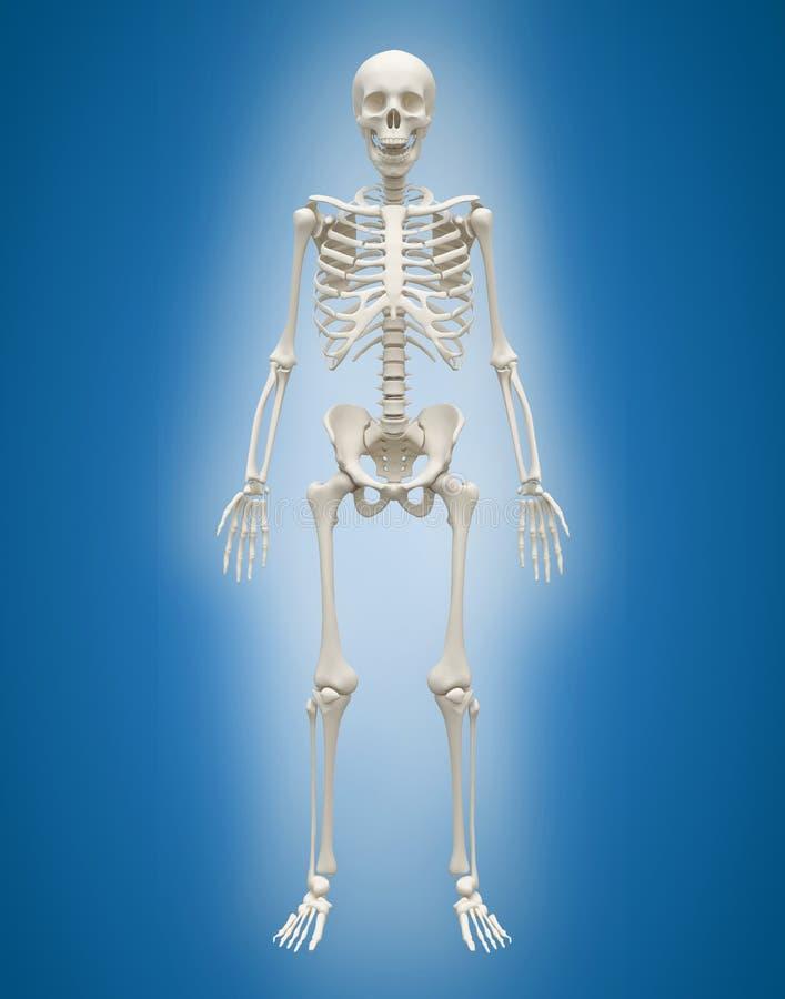 mänsklig skelett- man 3D på blå bakgrund stock illustrationer