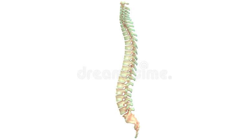 Mänsklig skelett- ryggmärganatomi stock illustrationer