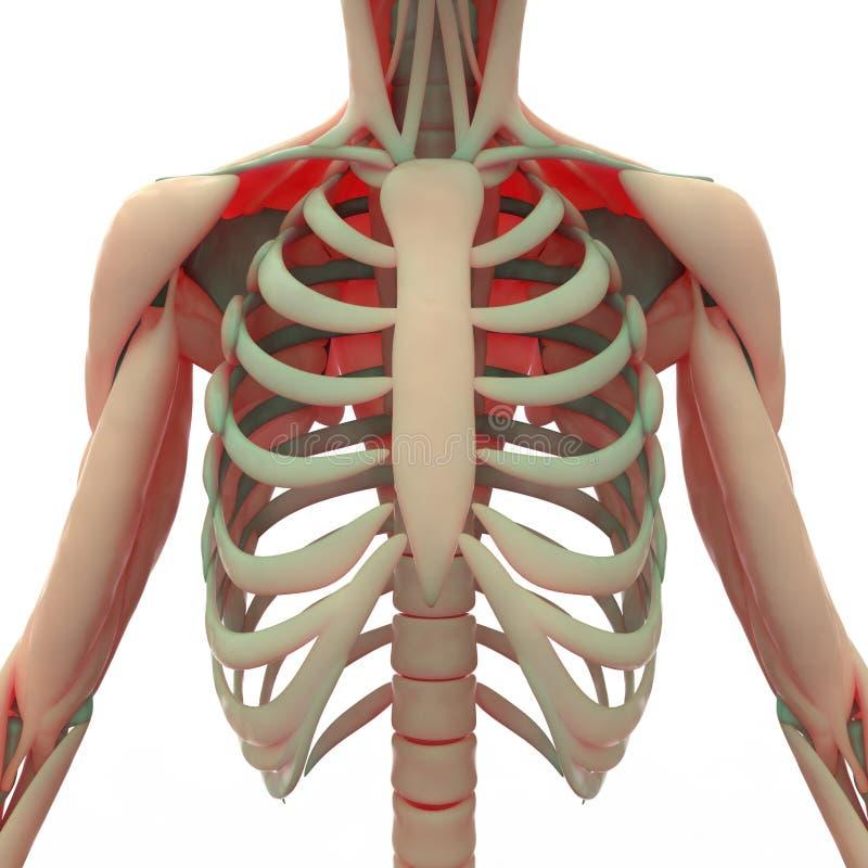 Mänsklig skulderblad med stöd vektor illustrationer