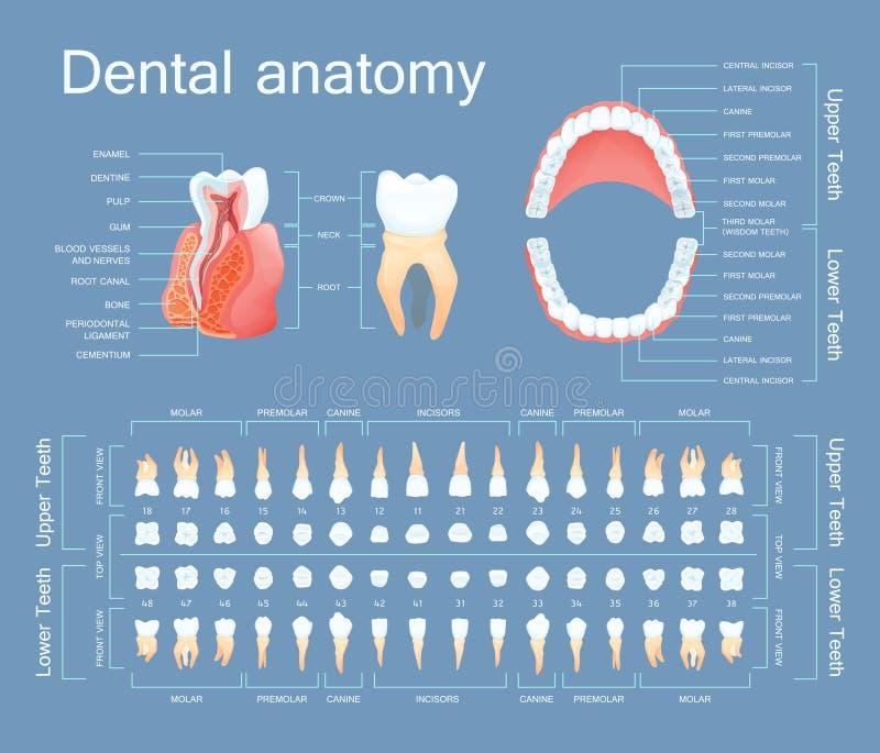 Mänsklig tand- anatomi Tandanatomi som numrerar infographics stock illustrationer