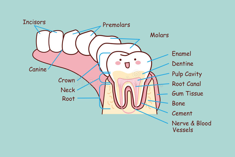 Mänsklig tand- anatomitand vektor illustrationer