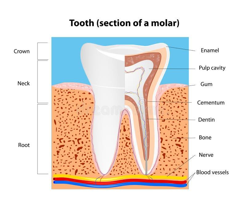 Mänsklig tandstruktur. Vektor royaltyfri illustrationer