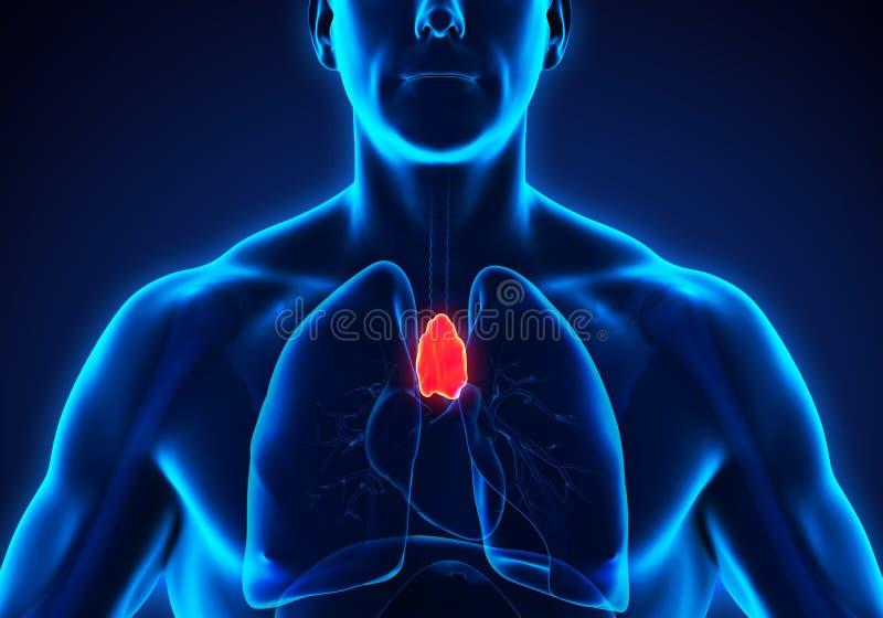 Mänsklig thymuskörtelanatomi vektor illustrationer