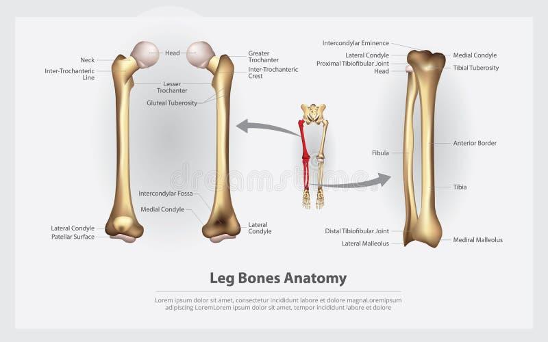 Mänskliga anatomibenben med detaljen stock illustrationer
