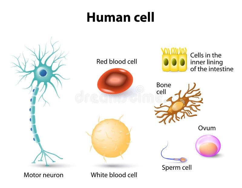 mänskliga celler stock illustrationer